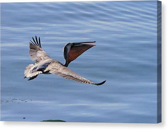 Morning Pelican Canvas Print