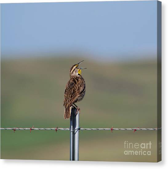 Meadowlarks Canvas Print - Morning Song Of A Meadowlark by Jeff Swan