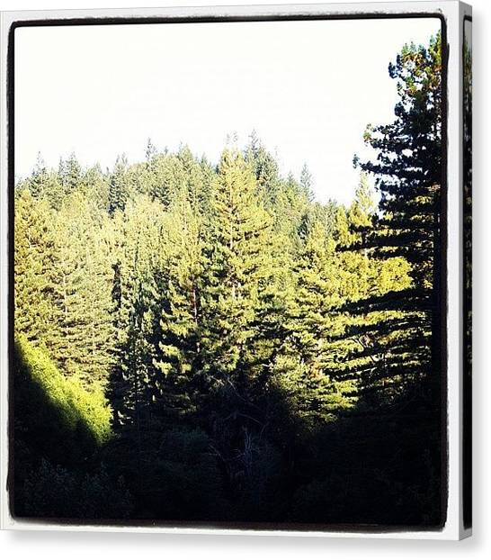 Redwood Forest Canvas Print - Morning Therapy Session. #morning by Amy Beam