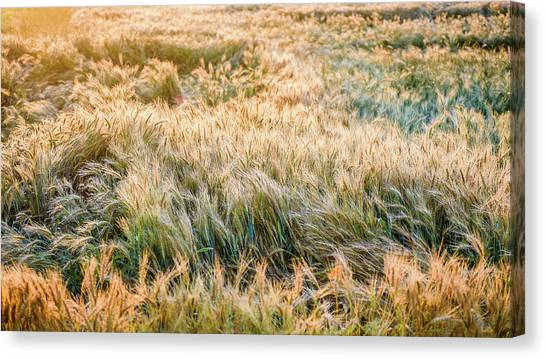 Morning Wheat Canvas Print