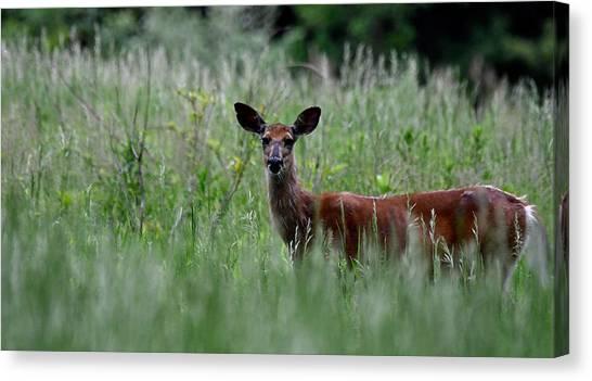 Morninng Deer Canvas Print
