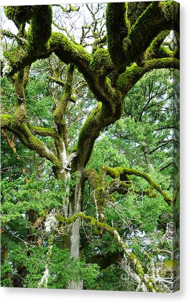 Moss Covered Arms Canvas Print by JoAnn SkyWatcher