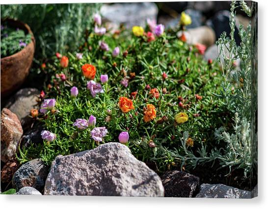 Canvas Print featuring the photograph Moss Rose In The Rocks #1 by John Brink