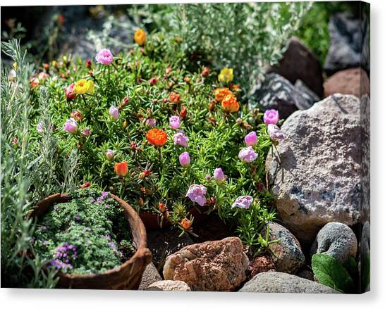 Canvas Print featuring the photograph Moss Rose In The Rocks #2 by John Brink