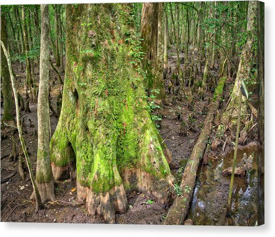 Mossy Cypress Canvas Print