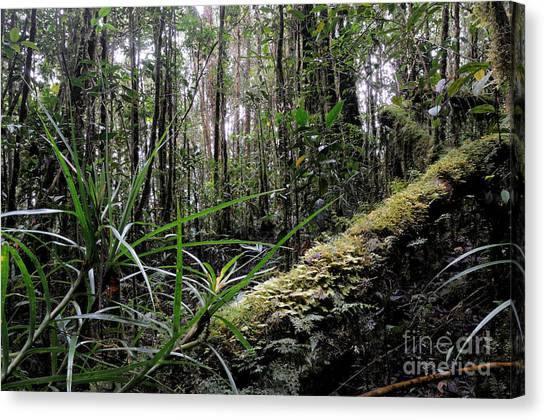 Mossy Forest Canvas Print - Mossy Forest In Borneo by Fletcher & Baylis