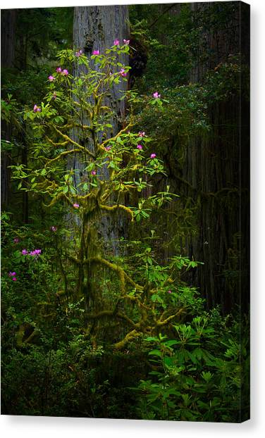 Redwood Forest Canvas Print - Mossy Rhododendron by Thorsten Scheuermann
