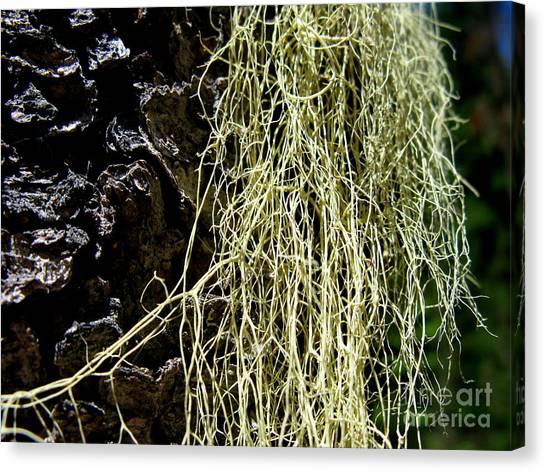 Mossy Tree Canvas Print by PJ  Cloud