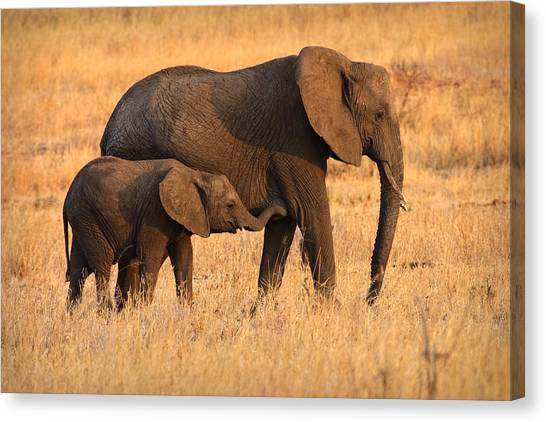 Mother And Baby Elephants Canvas Print