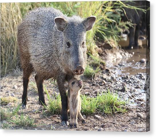 Mother And Baby Javelina Canvas Print