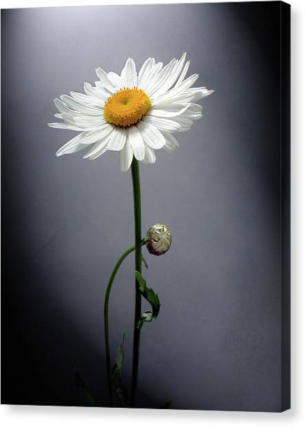 Mother Daisy Canvas Print