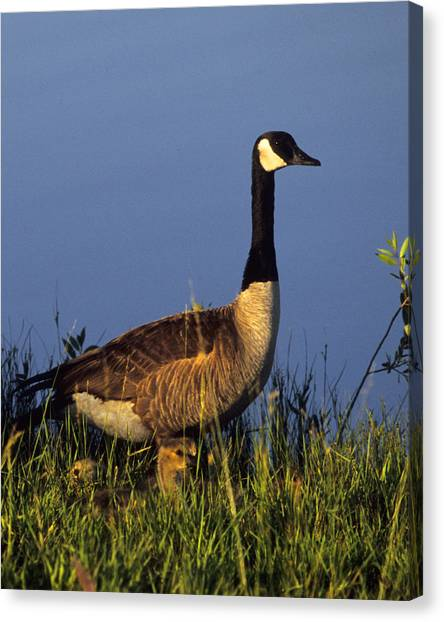 Mother Goose Canvas Print by Bruce Gilbert
