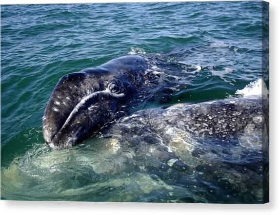 Mother Grey Whale And Baby Calf Canvas Print