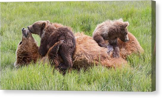 Mother Grizzly Suckling Twin Cubs Canvas Print