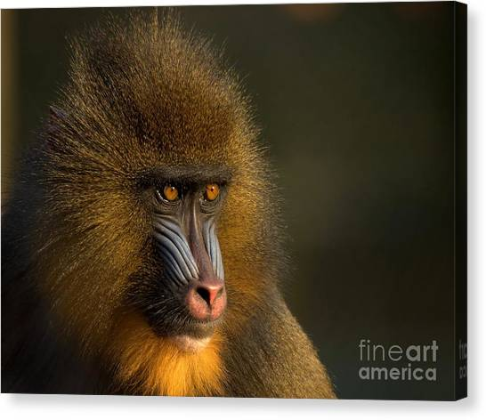 Monkeys Canvas Print - Mother's Finest by Jacky Gerritsen