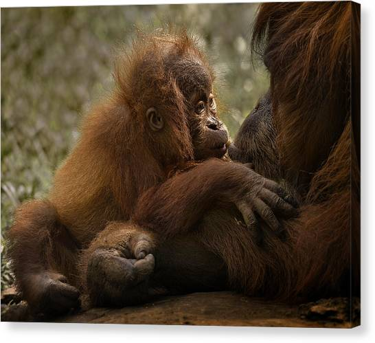 Orangutan Canvas Print - Mother's Love by C.s.tjandra