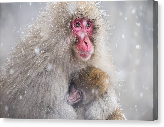 Monkeys Canvas Print - Mother's Warmth by Takeshi Marumoto