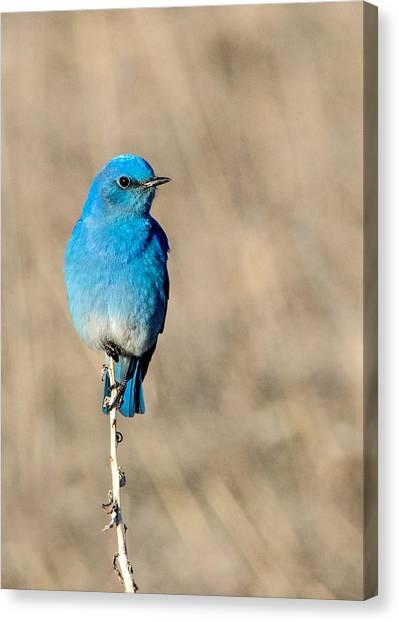 Mountain Bluebird On A Stem. Canvas Print