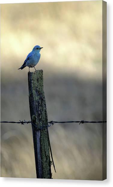 Mountain Bluebird On Wood Fence Post Canvas Print