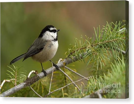 Mountain Chickadee Canvas Print