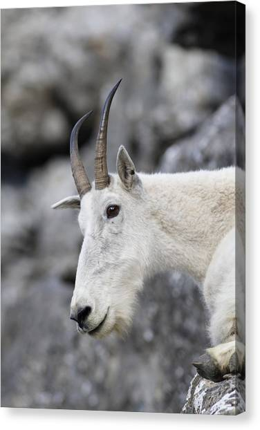 Mountain Goat At Rest Canvas Print by Michael Bowland
