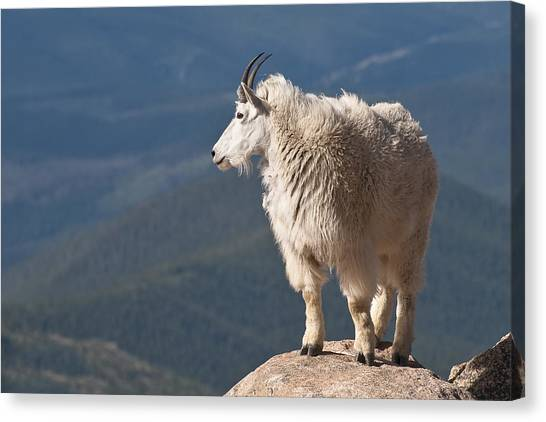 Canvas Print featuring the photograph Mountain Goat by Gary Lengyel