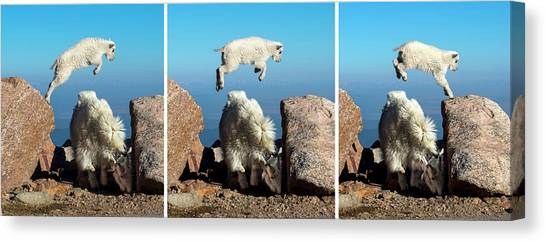 Mountain Goat Leap-frog Triptych Canvas Print