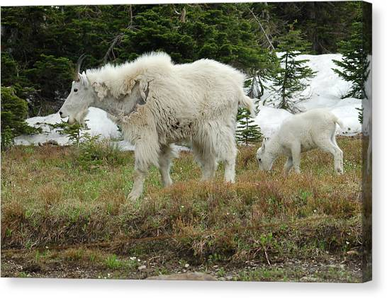 Mountain Goat Mom And Baby Canvas Print by D Nigon