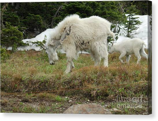 Mountain Goat Mom And Baby II Canvas Print by D Nigon