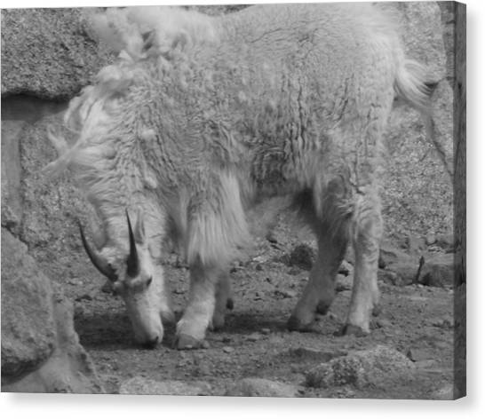 Mountain Goat Canvas Print by Peter  McIntosh