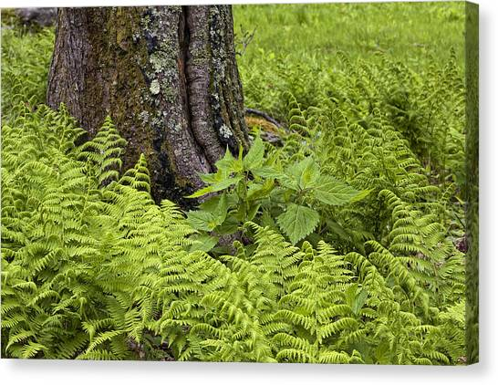 Mountain Green Ferns Canvas Print