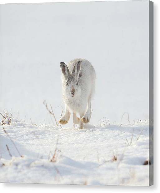 Mountain Hare Approaching Canvas Print