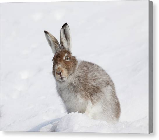 Mountain Hare In Winter Canvas Print