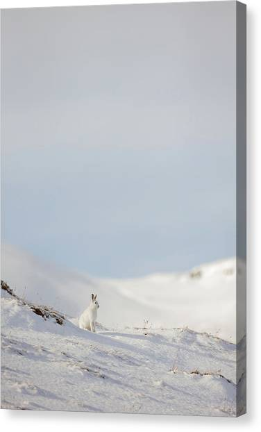 Mountain Hare On Hillside Canvas Print