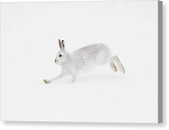 Mountain Hare Running Canvas Print