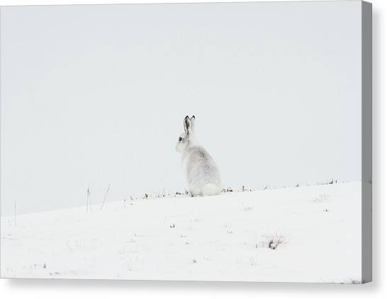 Mountain Hare Sat In Snow Canvas Print