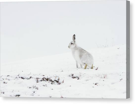 Mountain Hare Side On Canvas Print