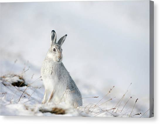 Mountain Hare Sitting In Snow Canvas Print