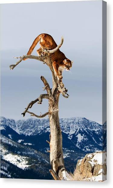 Mountain Lion In Tree Canvas Print