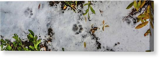 Mountain Lion Tracks In Snow Canvas Print