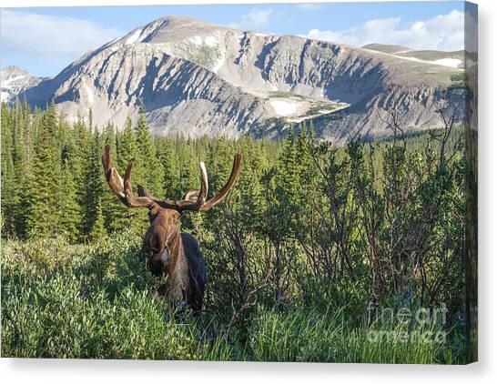 Mountain Moose Canvas Print