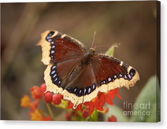 Mourning Cloak Butterfly Canvas Print