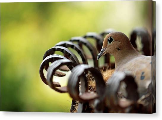 Mourning Dove In A Flower Planter Canvas Print