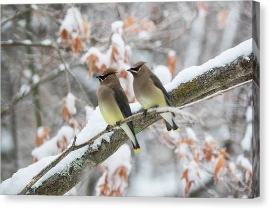 Mr. And Mrs. Cedar Wax Wing Canvas Print