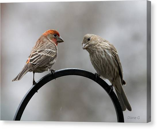 Mr. And Mrs. House Finch Canvas Print