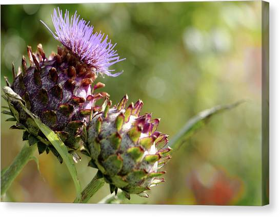 Mr And Mrs Thistle  Canvas Print