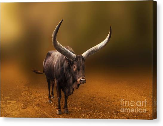 Mr. Bull From Africa Canvas Print