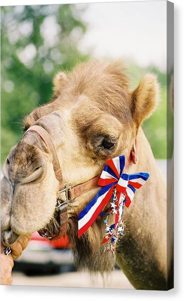 Mr. Camel Canvas Print by Cheryl Martin