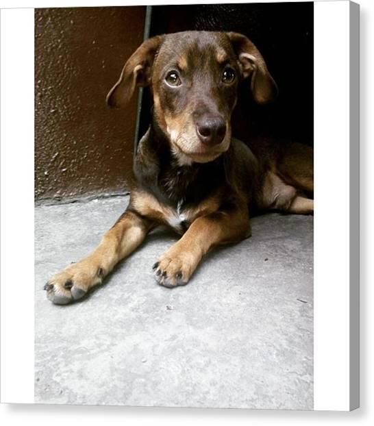 Schnauzers Canvas Print - Mr Coffe 3.0  #dog #instadaily by Jonas Seijas