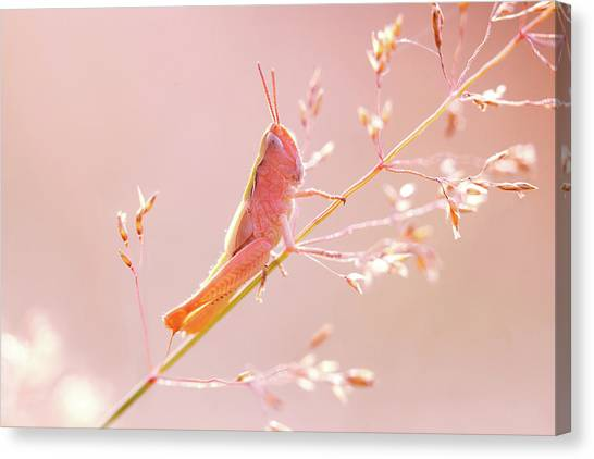 Grasshoppers Canvas Print - Mr Pink - Pink Grassshopper by Roeselien Raimond